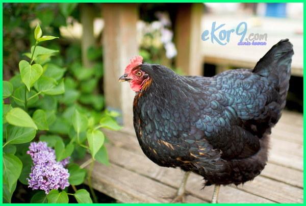 jenis ayam pedaging, jenis ayam pedaging unggul, jenis ayam pedaging terbaik saat ini, jenis ayam pedaging di indonesia, jenis ayam pedaging terbaik, jenis ayam pedaging unggulan, jenis ayam pedaging kampung