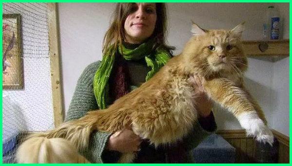 jenis kucing body besar, jenis kucing besar yang bisa dipelihara, jenis kucing besar warna coklat kemerahan, jenis kucing maine coon terbesar, jenis kucing besar di dunia, jenis kucing besar di benua amerika, jenis kucing paling besar di dunia