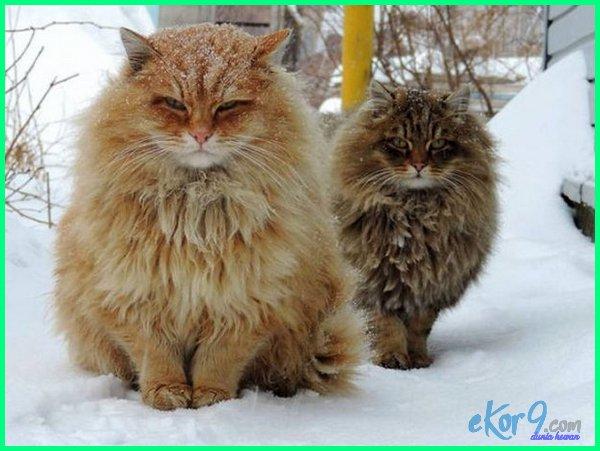 jenis kucing besar terkuat,jenis kucing besar terlangka, jenis kucing ukuran besar, jenis kucing yang besar, jenis kucing yg besar, 10 jenis kucing terbesar di dunia