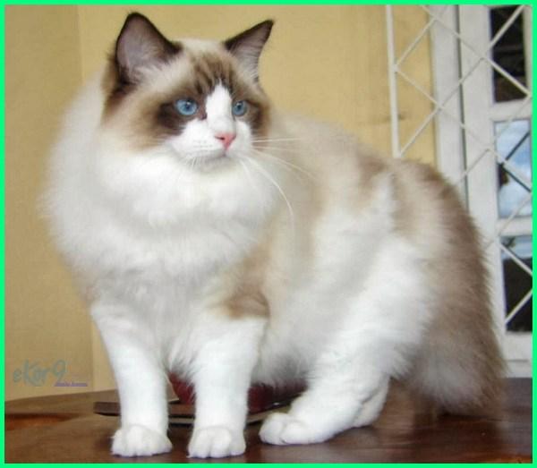 10 Jenis Kucing Paling Besar Di Dunia Dunia Fauna Hewan Binatang Tumbuhan Dunia Fauna Hewan Binatang Tumbuhan