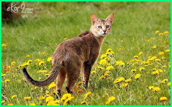 jenis kucing hutan terbesar, jenis kucing hias terbesar, jenis kucing terbesar di dunia, jenis kucing besar buas, jenis kucing berbadan besar, jenis kucing berukuran besar