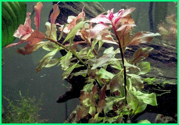 jenis tanaman dalam air, jenis tanaman dalam air, tanaman air kolam, tanaman aquarium, tanaman di air, tanaman hias dengan media air, tanaman kolam