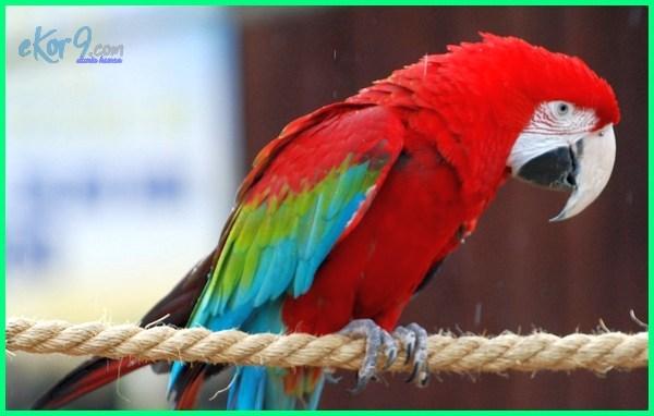 semua jenis burung macaw