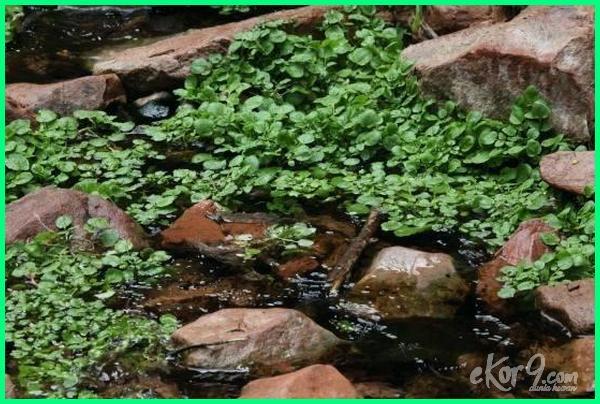 jenis tanaman air, jenis tanaman air dan gambarnya, jenis tanaman air untuk kolam ikan, jenis tanaman dalam air, jenis tanaman hias air, jenis tanaman yg hidup di air, macam tanaman air, tanaman air