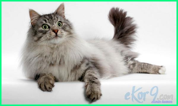 kucing bulu lebat kaki pendek