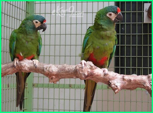 macam jenis burung macaw