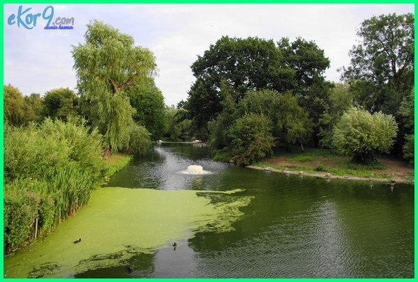 tanaman untuk kolam ikan, tanaman pinggir kolam ikan, tanaman di kolam ikan, tanaman air kolam ikan, tanaman sekitar kolam ikan