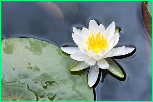 tanaman hias mengambang diatas kolam ikan