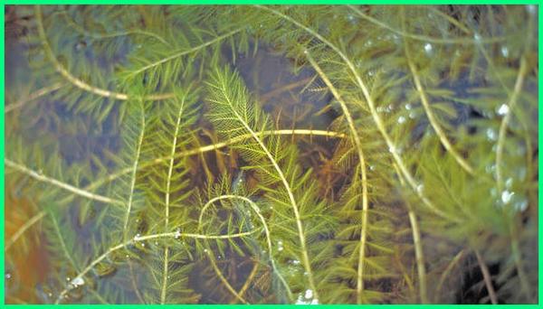 tanaman buat kolam ikan, tanaman air buat kolam ikan, tanaman yang baik untuk kolam ikan