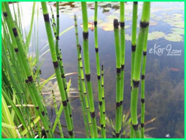 tanaman ikan koi kolam obat untuk air yang cocok hias di disukai