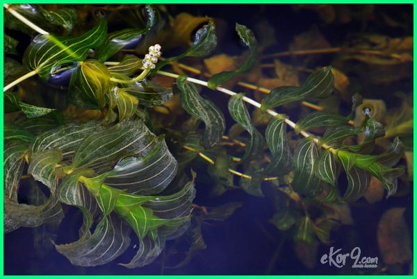 tanaman yang bagus untuk kolam ikan, air kolam ikan baik untuk tanaman, tanaman yg cocok buat kolam ikan, tanaman hias buat kolam ikan, tanaman yg bagus untuk kolam ikan