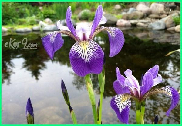 tanaman penjernih kolam ikan, tanaman untuk penjernih air kolam, tanaman sebagai penjernih air, tanaman untuk penjernih air, tanaman penjernih air sungai
