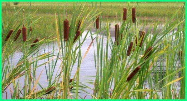 tanaman hias pinggir kolam ikan, tanaman air hias pinggir kolam ikan