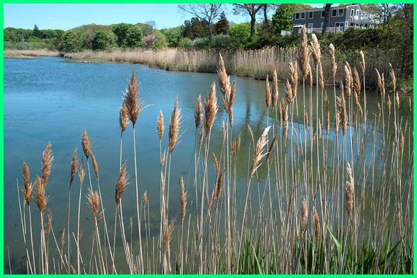 tanaman untuk di pinggir kolam ikan, tanaman di pinggir tepi kolam ikan