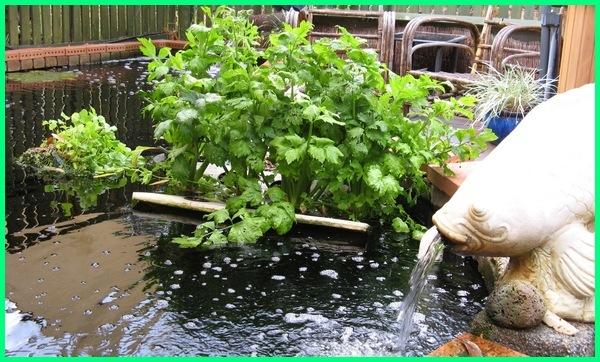 tanaman penjernih air kolam, tanaman penjernih kolam ikan, tanaman untuk penjernih air kolam, tanaman sebagai penjernih air, tanaman untuk penjernih air, tanaman penjernih air sungai