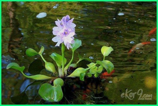 Eceng Gondok, jenis tanaman kolam ikan, tanaman hias untuk kolam ikan koi, tanaman air untuk kolam ikan hias, tanaman di sekitar kolam ikan, tanaman hias di kolam ikan, tanaman di pinggir kolam ikan