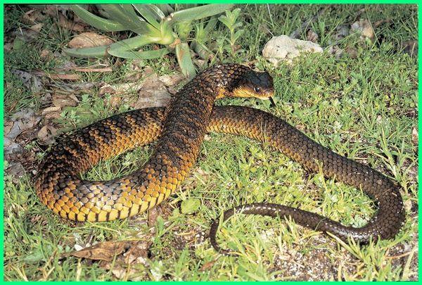 ular paling beracun mematikan di dunia, ular paling berbisa mematikan di dunia, ular berbisa paling mematikan di dunia, ular paling berbisa dan mematikan di dunia, ular paling berbisa no 1 di dunia, ular paling berbisa nomor 1 di dunia, ular paling berbisa seluruh dunia