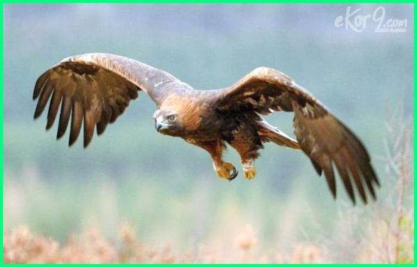 burung tercepat di udara, kepakan burung tercepat, burung elang tercepat di dunia, burung elang tercepat, foto burung tercepat gambar burung tercepat, gambar burung tercepat di dunia