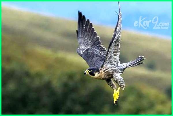 burung tercepat di dunia indonesia kaskus udara bumi adalah terbang dara merpati jenis balap dan terkuat kepakan video didunia sedunia elang foto falcon suara cepat gacor gambar hantu se japati kolong kecil kartun lari nama ciri2 pemburu pelari penerbang pemangsa sayap sprint dengan yang tertinggi urutan apa yg 10 5
