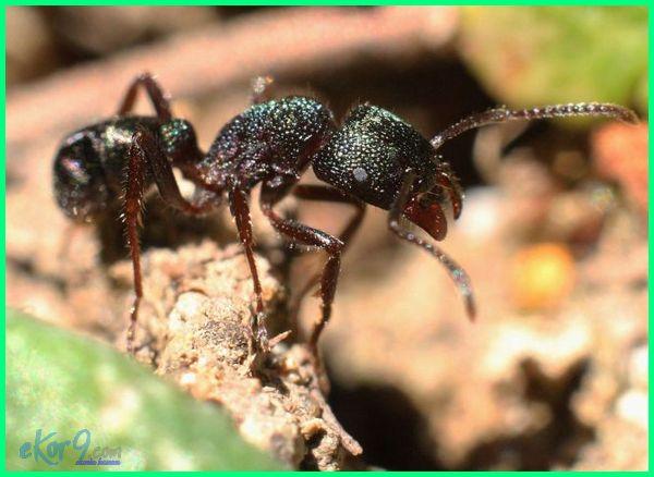 10 semut paling berbahaya, spesies semut paling berbahaya, macam macam semut berbahaya, semut jepang ternyata berbahaya, apakah semut terbang berbahaya, video semut berbahaya, semut yang berbahaya, gigitan semut yang berbahaya, jenis semut yang berbahaya, jenis semut yg berbahaya
