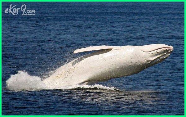hewan hewan albino yang mempesona, cara membuat hewan jadi albino, kumpulan hewan albino, kelemahan hewan albino, kenapa hewan albino, penyebab hewan menjadi albino