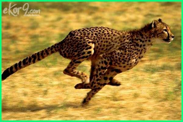 cheetah hewan tercepat di dunia, cita hewan tercepat, foto hewan tercepat, hewan dengan gerakan tercepat, gambar hewan tercepat di dunia, kumpulan hewan tercepat di dunia, hewan tercepat lari di dunia