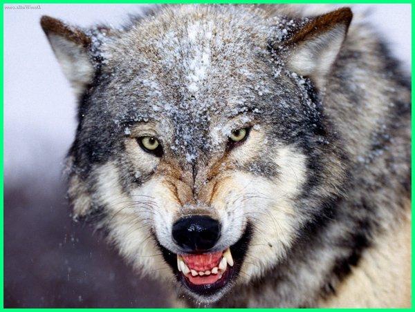 hewan dengan kekuatan gigitan terkuat, urutan hewan dengan gigitan terkuat, hewan hewan dengan gigitan terkuat, hewan gigitan kuat, hewan gigit manusia