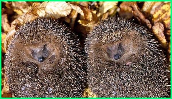 hewan yang dapat hibernasi, maksud hibernasi hewan, hewan yang hibernasi adalah, hewan yang melakukan hibernasi adalah, hewan yg melakukan hibernasi adalah, arti hewan hibernasi, hewan melakukan hibernasi bertujuan