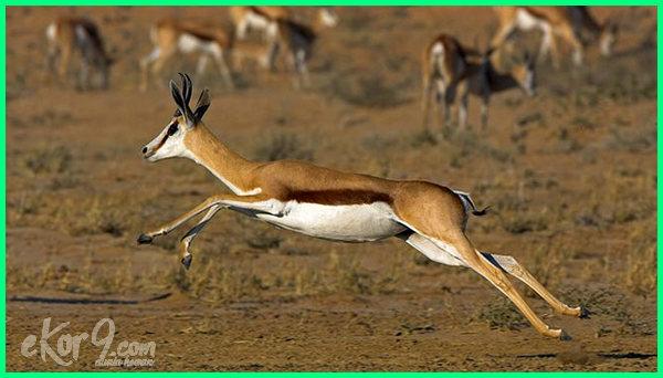 hewan tercepat di dunia dan kecepatannya, hewan pelari tercepat di daratan, hewan lari tercepat di dunia, hewan tercepat larinya, hewan tercepat lari, hewan tercepat lari di dunia, 10 hewan lari tercepat di dunia, hewan larinya tercepat di dunia