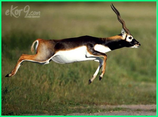 hewan tercepat dalam berlari, hewan yang berlari tercepat di dunia, beberapa hewan tercepat, hewan tercepat selain cheetah, foto hewan tercepat di dunia, hewan yang tercepat larinya, hewan tercepat lari nya, nama hewan tercepat, hewan pelari tercepat