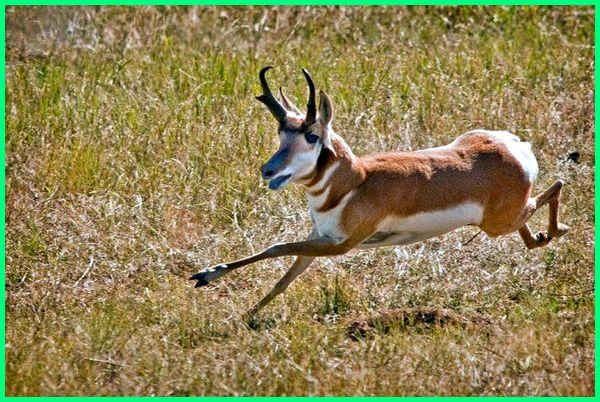 kumpulan hewan tercepat di dunia, daftar hewan tercepat di dunia, hewan tercepat lari di dunia, hewan larinya tercepat di dunia