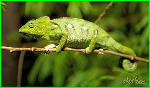 hewan berubah warna disebut, hewan yang berubah warna kalau ada musuhnya tts lontong, hewan yang berubah warna disebut, hewan yang berubah warna saat bertemu musuh, hewan yang berubah warna adalah, hewan yang bisa berubah warna, hewan yang dapat berubah warna kulitnya tts lontong