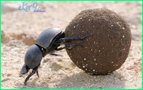 kumbang bawa kotoran lebih besar dari bobot badannya