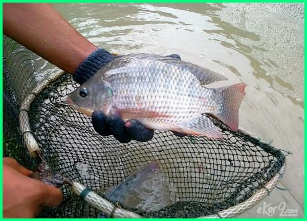 ikan dengan pertumbuhan paling cepat, budidaya ikan paling cepat dan menguntungkan, ikan yang paling cepat berkembang biak, jenis ikan paling cepat besar, jenis ikan yang paling cepat panen, jenis ikan nila paling cepat besar