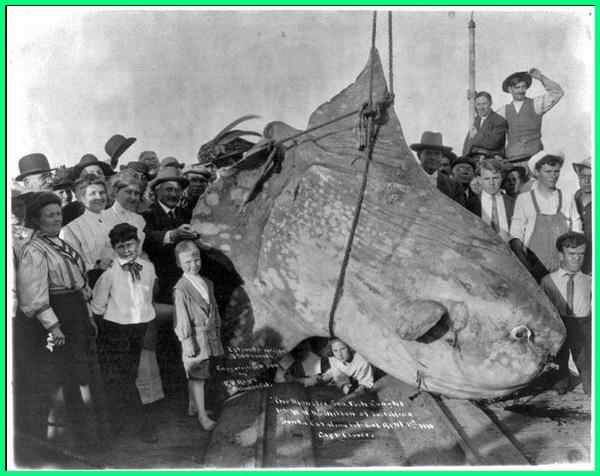 ikan terbesar ditangkap,ikan terbesar ditangkap manusia, ikan paling besar yg pernah ditangkap, gambar tangkap ikan besar