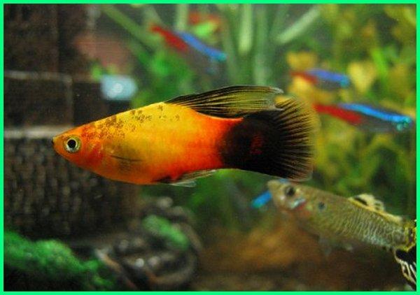 ikan hias aquarium yang bisa digabung