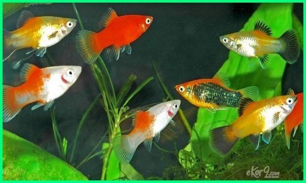 ikan platy,ikan yang bisa melahirkan, ikan hias yang cepat beranak, jenis ikan yang cepat beranak, ikan yang paling cepat beranak