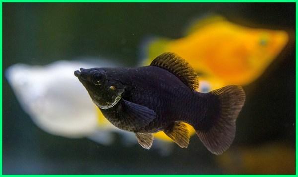 ikan yang bisa digabung dengan guppy