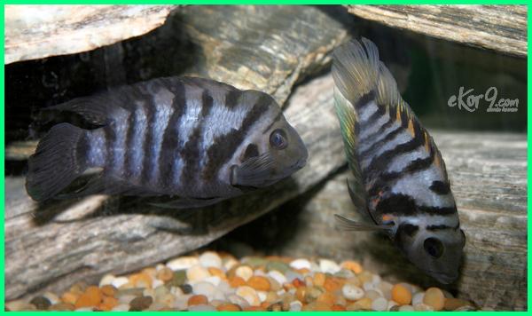 ikan yang cepat berkembang biak, ikan yang mudah berkembang biak, ikan yang berkembang biak dengan cara bertelur, ikan yang mudah berkembang biak di akuarium, ikan aquascape yang mudah berkembang biak, ikan yang berkembang biak dengan bertelur, contoh ikan yang berkembang biak dengan bertelur