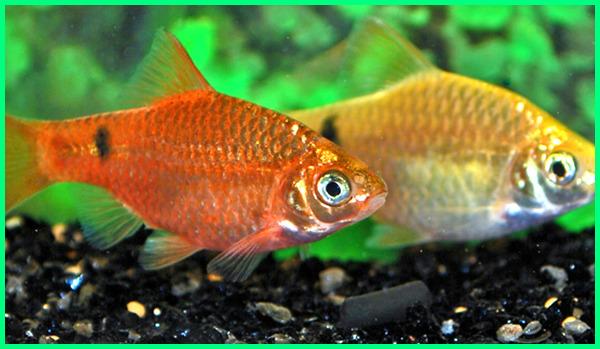ikan hias yang mudah berkembang biak paling cepat jenis kecil di aquarium air tawar budidaya yg arulius dengan cara gampang