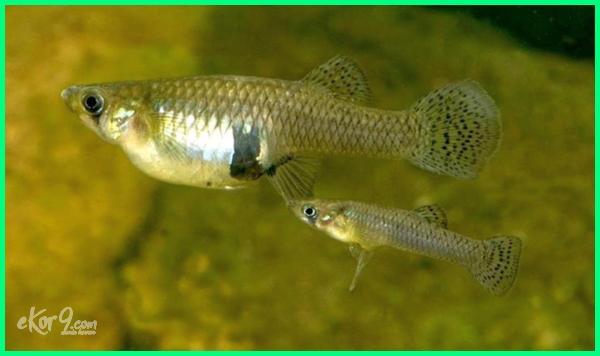 jenis ikan yang beranak, jenis ikan hias yang beranak, nama ikan hias yang beranak, ikan yang sering beranak, ikan beranak sendiri, ikan hias yang sering beranak, ikan air tawar yang beranak, ikan hias tawar yang beranak, ternak ikan yang cepat beranak