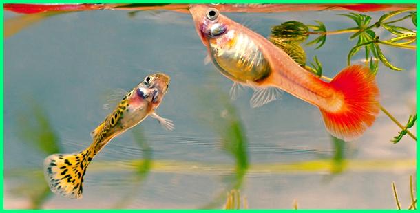 ikan yang cocok digabung