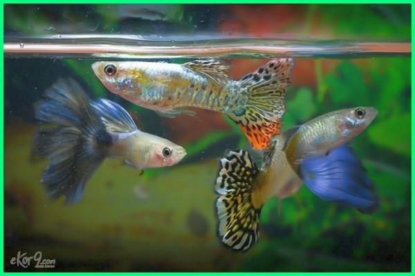 ikan hiasan yang beranak, ikan hias yang beranak, ikan yang cepat beranak, ikan yang gampang beranak, contoh ikan yang beranak, ikan yang mudah beranak di akuarium, nama ikan yang beranak