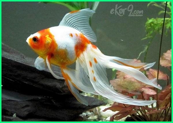Ikan Mas Koki Yang Kuat Dan Mudah Dipelihara Pemula Dunia Fauna Hewan Binatang Tumbuhan