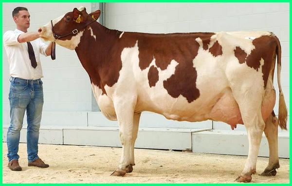 jenis sapi perah, jenis sapi perah di indonesia, jenis sapi perah unggul, jenis sapi perah yang baik, jenis sapi perah terbaik, jenis sapi perah unggulan, jenis sapi perah tropis