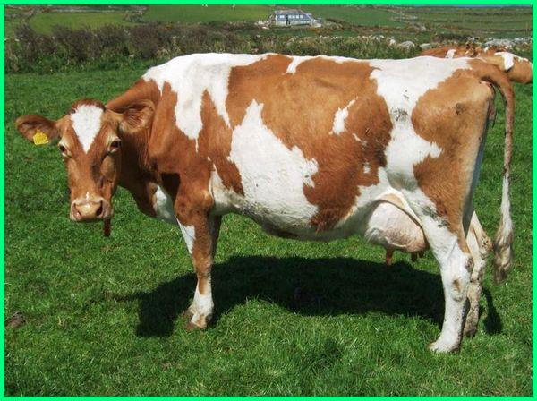 jenis dan bangsa sapi perah, jenis sapi perah dan ciri-cirinya, jenis sapi perah dan cirinya