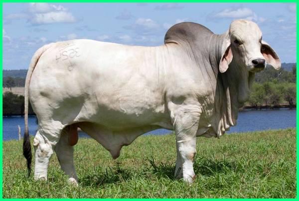 macam jenis sapi potong, jenis sapi potong luar negeri, jurnal jenis sapi potong, jenis ternak sapi potong, makalah jenis sapi potong