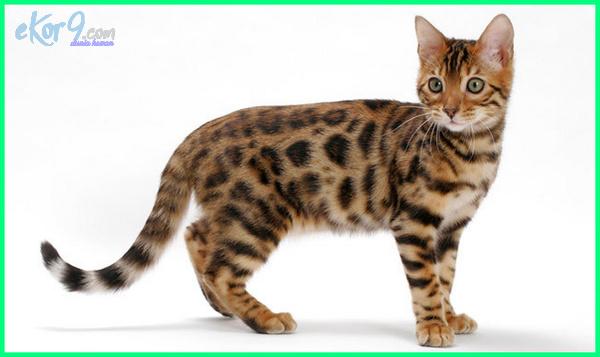 nama kucing betina paling cantik, kucing yang cantik di dunia, kucing yang cantik dan lucu, foto kucing paling cantik di dunia, foto kucing yg paling cantik, foto kucing yang paling cantik, jenis kucing yang paling cantik, nama kucing yang paling cantik, ras kucing paling cantik