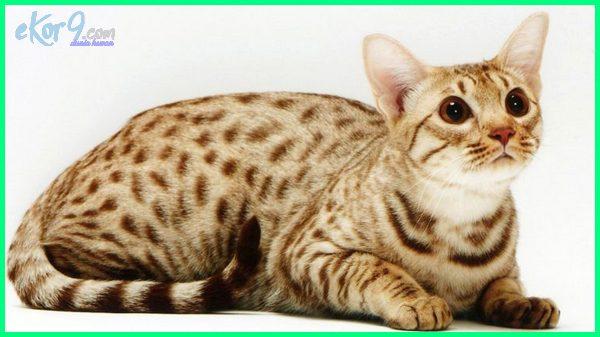 kucing bulu macan tutul, harga kucing bulu macan tutul