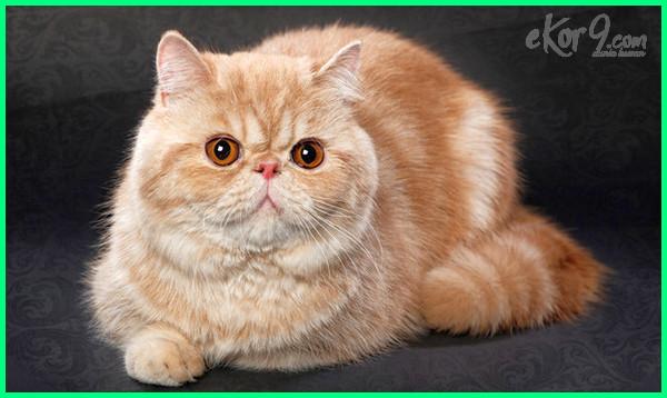 10 Jenis Kucing Paling Cantik Dan Comel Di Dunia Dunia Fauna Hewan Binatang Tumbuhan Dunia Fauna Hewan Binatang Tumbuhan